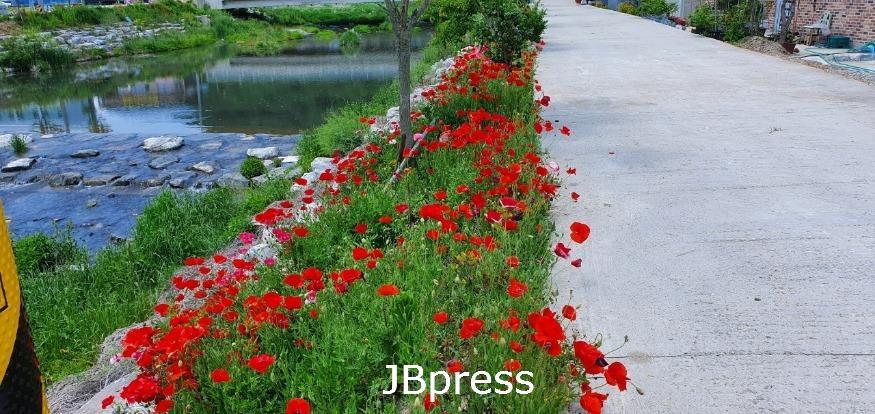 7.강진면으로 양귀비 꽃구경 하러 오세요.JPG