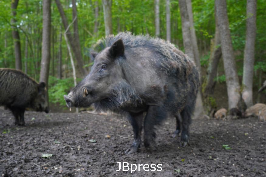 wild-boar-5219653_1920.jpg